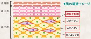 繊維芽細胞